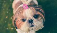 Dog Grooming Online Certificate Course
