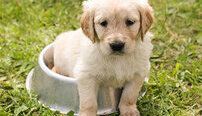 Puppy Training Online Certificate Course