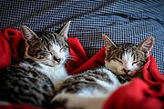 Feline First Aid Online Certificate Course