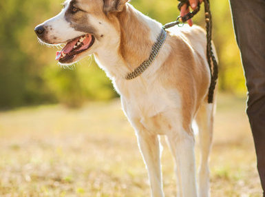 Certificate in Dog Walking and Pet Home Sitting Professional Online Course