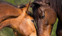 Certificate in Equine Psychology Online Course