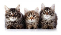 Certificate in Feline Behavior and Psychology Online Course