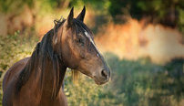 Equine Psychology Online Bundle, 2 Certificate Courses