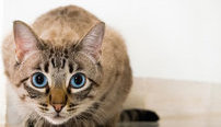 Ultimate Feline Behavior and Psychology Online Bundle, 10 Certificate Courses
