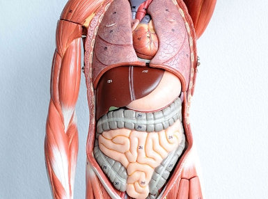 Human Anatomy and Physiology Online Certificate Course